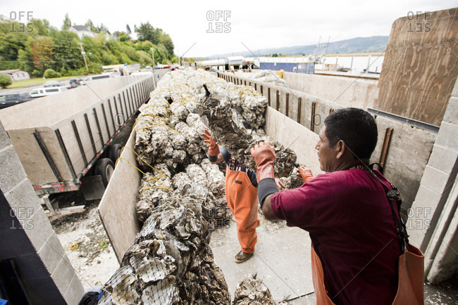 Willapa, Oregon, USA - August 31, 2016: Oyster Farmers Near Willapa Bay Puts A Bags Of Empty Oyster Shells Onto A Truck