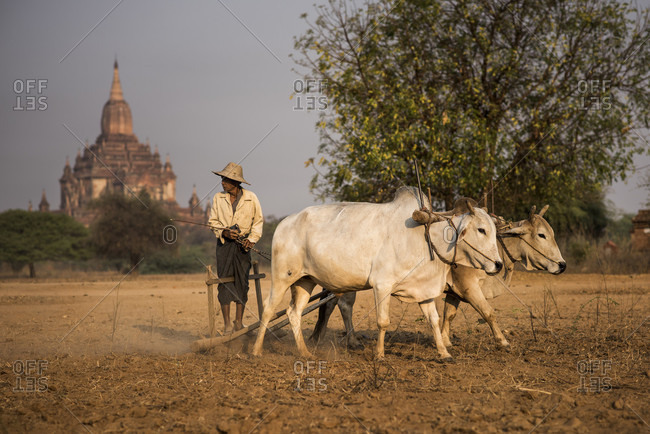 Bagan, Bagan, Myanmar - March 17, 2015: A Burmese farmer ploughing a field in front of a temple in Bagan, Myanmar.