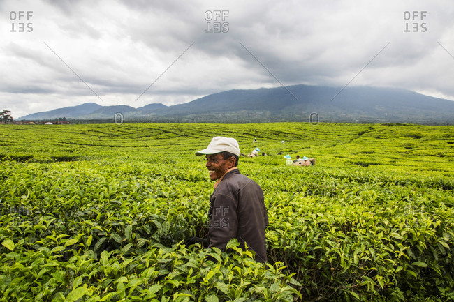 Kerinci Valley, Sumatra, Indonesia - February 21, 2015: A man works his way through the tea plantations with a machete in Kayo Aro, a small community in the Kerinci Valley of Sumatra, Indonesia.