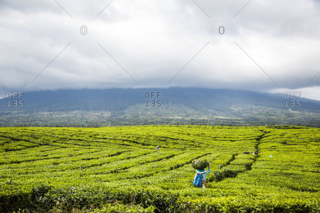 Kerinci Valley, Sumatra, Indonesia - February 21, 2015: Tea workers in a large field in Kayo Aro, a small community in the Kerinci Valley of Sumatra, Indonesia.