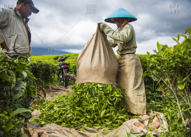 Kerinci Valley, Sumatra, Indonesia - February 21, 2015: Tea workers in a field in the Kerinci Valley of Sumatra, Indonesia. This fertile valley is home to one of the largest tea plantations in the world and employees many local community members.