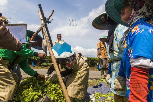 Kerinci Valley, Sumatra, Indonesia - February 13, 2015: Tea workers in a field in the Kerinci Valley of Sumatra, Indonesia. This fertile valley is home to one of the largest tea plantations in the world and employees many local community members.