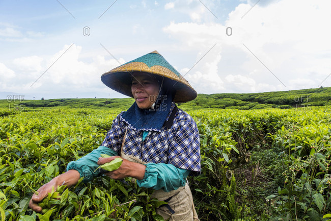Kerinci Valley, Sumatra, Indonesia - February 24, 2015: Tea workers in a field in the Kerinci Valley of Sumatra, Indonesia. This fertile valley is home to one of the largest tea plantations in the world and employees many local community members.