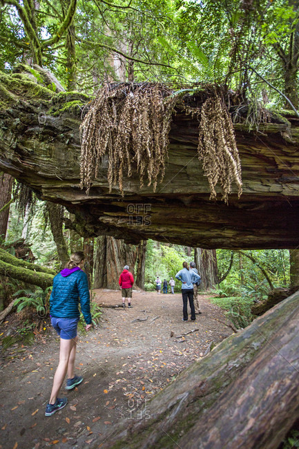 Redwoods National Park, California, USA - July 18, 2016: A family hikes beneath fallen logs in Redwood National Park, CA.