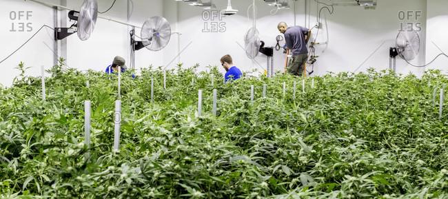 Seattle, WA, USA - June 24, 2016: A Large Marajuana Grow Operation In Washington State