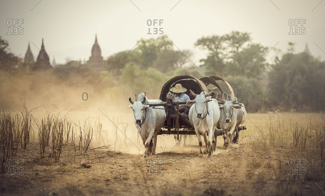 Burmese rural man driving wooden cart with hay on dusty road