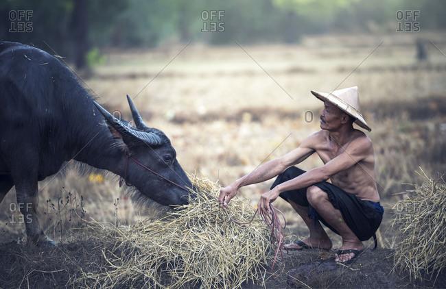 Asian farmer and water buffalo in farm