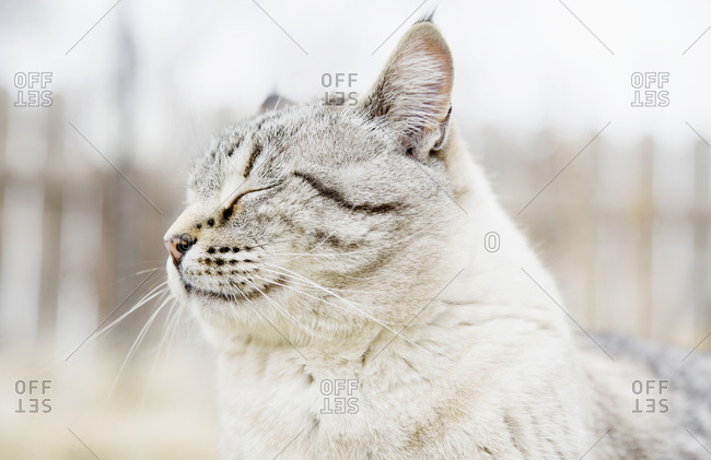 USA, Colorado, Portrait of grey cat with closed eyes