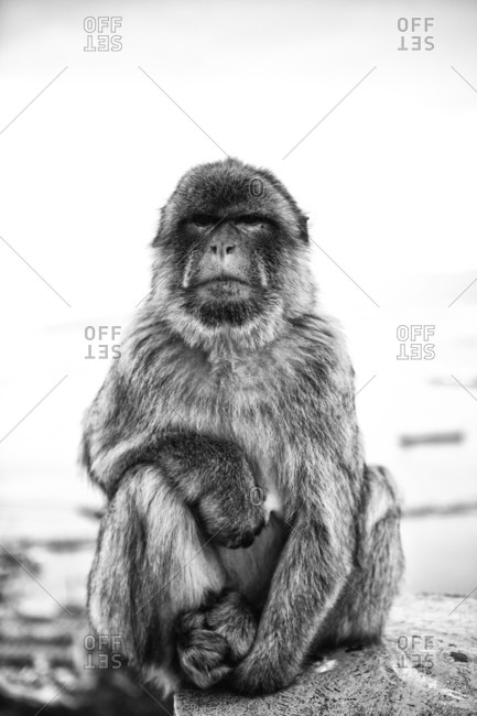 Black and White Portrait of a Barbary Macaque / Gibraltar Ape, on the Rock of Gibraltar, Spain.