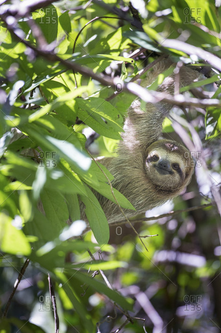 A Three Toed Sloth Climbs in a Tree in Manuel Antonio National Park, Costa Rica