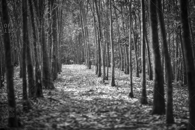 A row of rubber trees in a rubber plantation on the border of Gunung Leuser National Park, Sumatra, Indonesia. Primary forest in Sumatra is shrinking fast and agricultural plantations often border small islands of protected land.