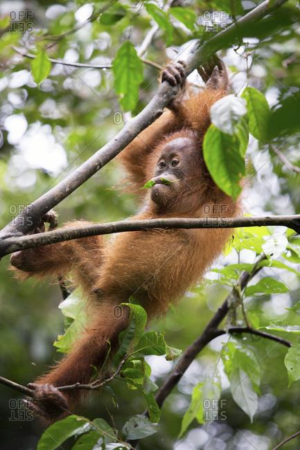 A critically endangered baby Sumatran Orangutan climbs in a tree in Gunung Leuser National Park near the tourist town of Bukit Lawang.