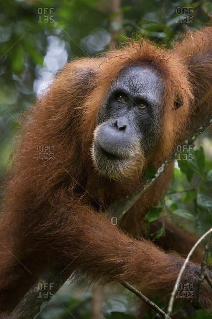 A critically endangered female Sumatran Orangutan in Gunung Leuser National Park near the tourist town of Bukit Lawang.