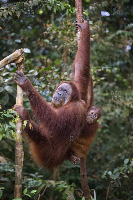 A critically endangered female and baby Sumatran Orangutan climb in a tree. Gunung Leuser National Park, Bukit Lawang, Sumatra, Indonesia