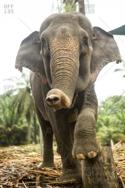 A female sumatran elephant poses on a stump in an enclosure at an elephant rescue center in north Sumatra. While many of the elephants were rescued from being labor animals, they are still kept in less than ideal conditions