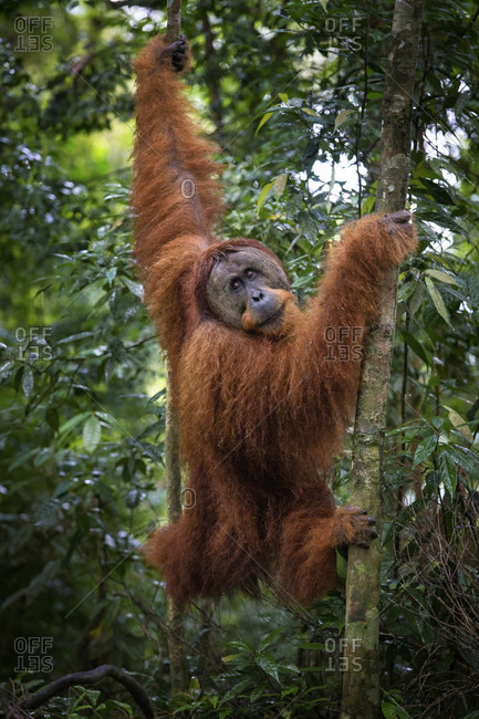A critically endangered wild male Sumatran Orangutan in Gunung Leuser National Park near the tourist town of Bukit Lawang