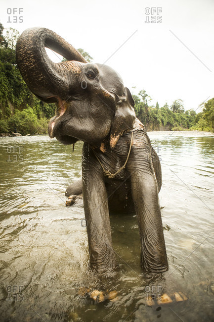 A female Sumatran elephant stretches while bathing in a river in north Sumatra, Indonesia. Many of these elephants were rescued from being labor animals, but are still kept in less than ideal conditions.