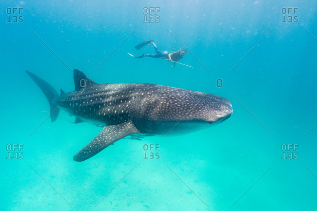 Mafia Island, Coast Province, Tanzania - July 10, 2014: A researcher swims along a whale shark in an attempt to take a biospy sample