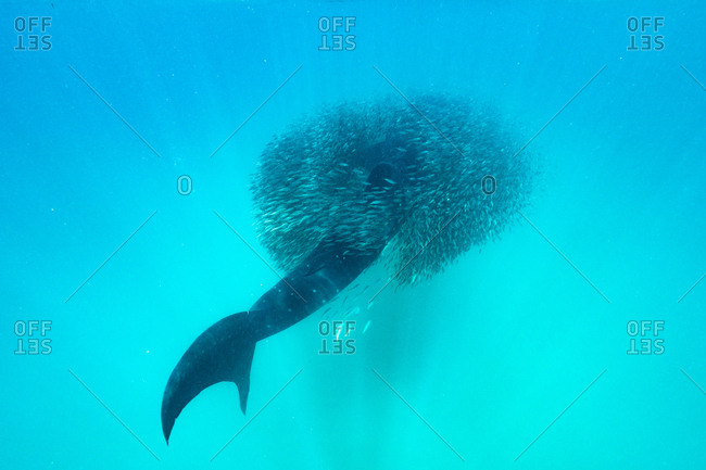 A whale shark surrounded by a school of anchovies