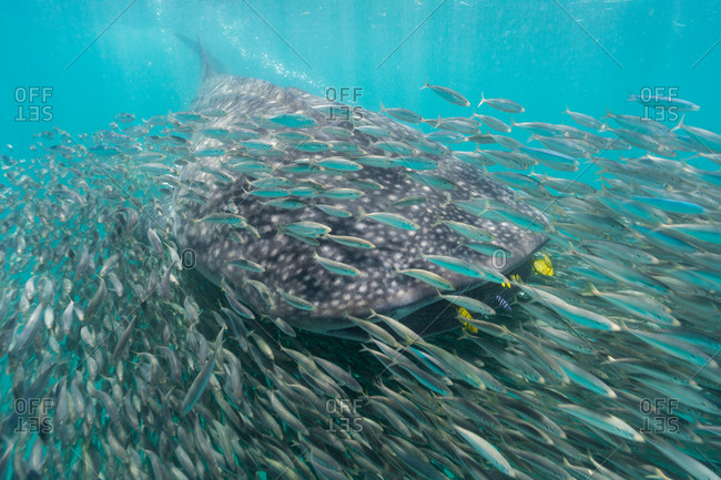 A whale shark surrounded by anchovies