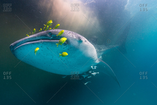 A whale shark and golden trevally swim by a patch of Trichodesmium algae