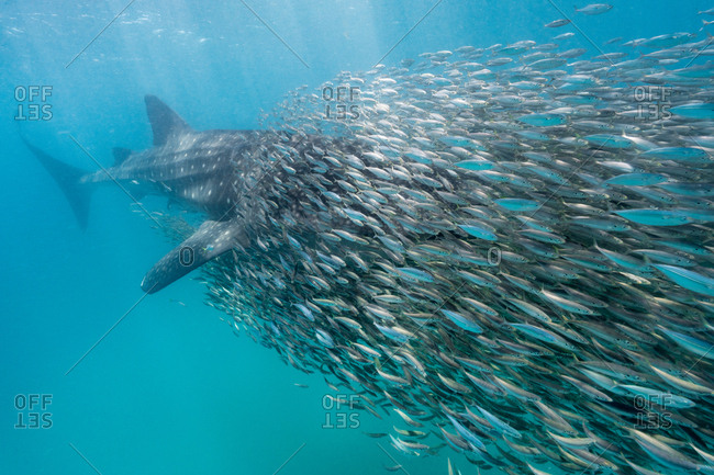 A whale shark disappears in a school of anchovies