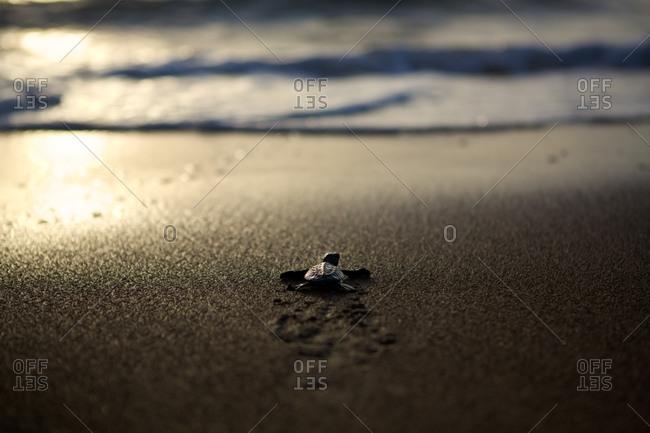 Olive ridley turtle hatchling