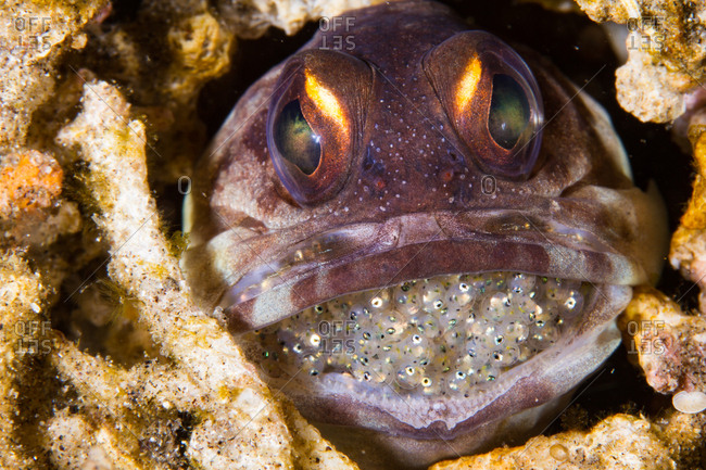 A yellowbarred jawfish with eggs in it's mouth
