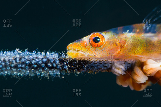 A whip coral goby watches over its eggs on its host coral