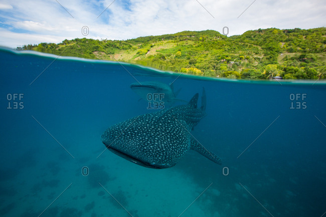 Two whale sharks swim by just below the surface