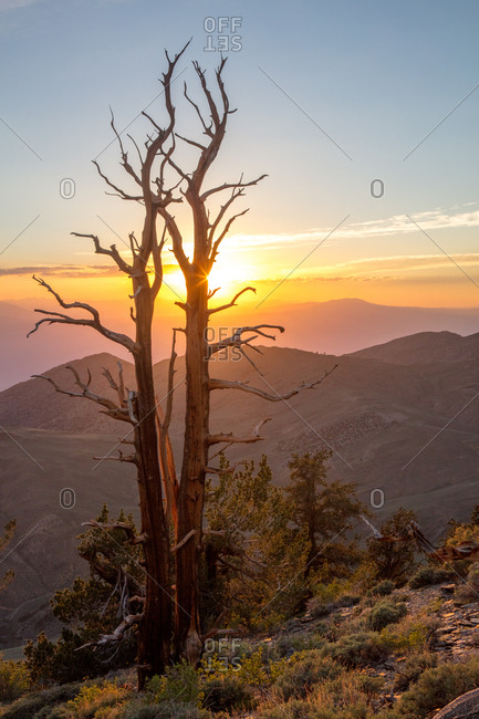 Ancient Bristlecone Pines at sunset