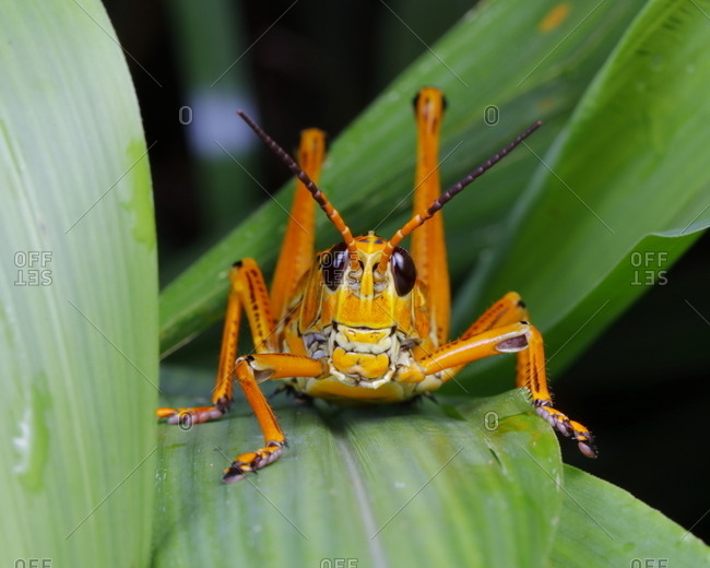Close up of an eastern lubber grasshopper resting on a leaf
