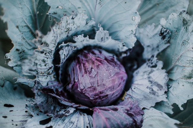 Close up of a red cabbage