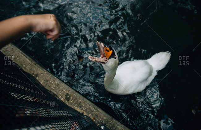Child hand feeding an open-mouthed swan