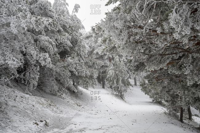 Snowy landscape of Madrid (Navacerrada)