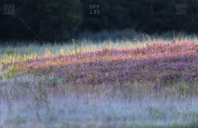 Blooming common heather in nature reserve. Lit by morning sun