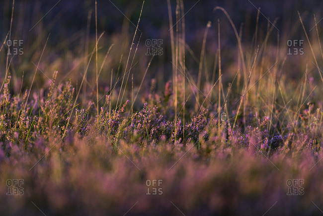 Detail of blooming common heather in morning sunlight