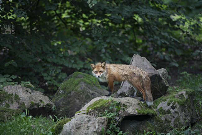 Red fox standing on a mossy rock