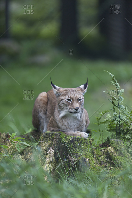 Lynx resting on a tree stump in the forest