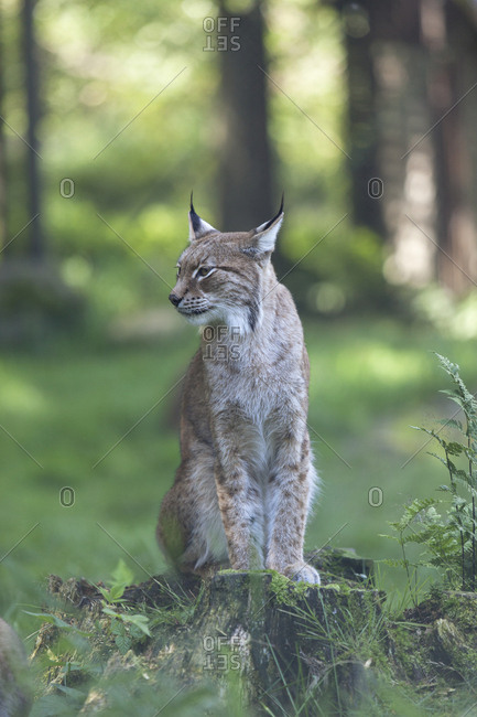 Lynx sitting on a tree stump in the forest