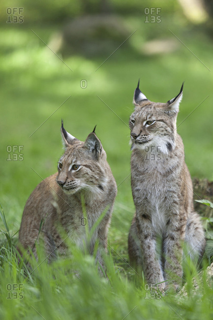 Two lynxes sitting in a meadow