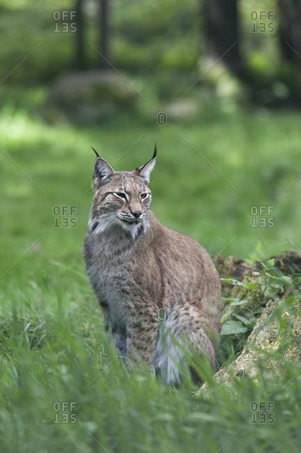 Lynx sitting in a meadow