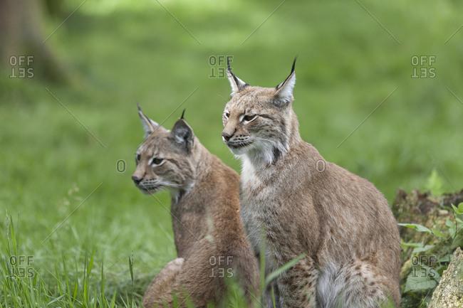 Two lynxes sitting in a field