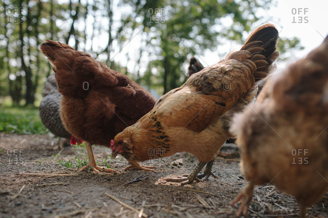 Hens pecking for food in the earth on a farm