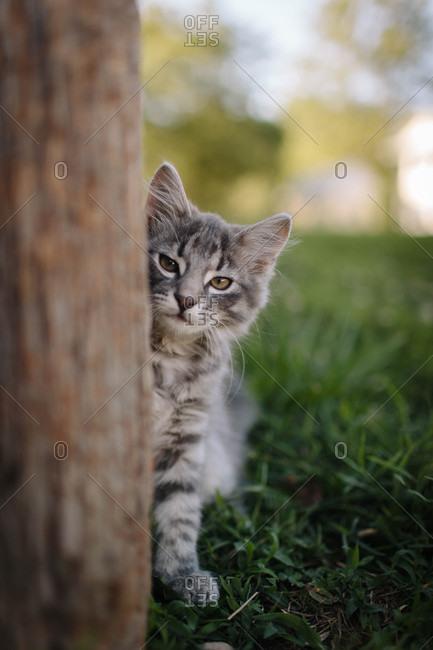 Sleepy gray kitten peering around a wooden post