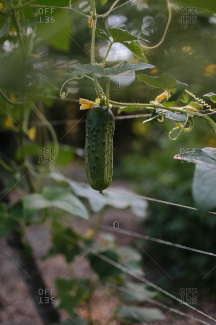 Cucumber growing on a vine in a garden
