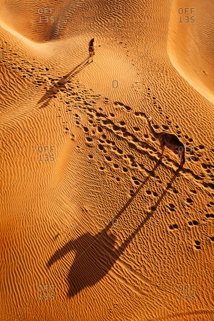 Dromedary camels, Camelus dromedarius, walking through sand dunes in the Arabian Desert.