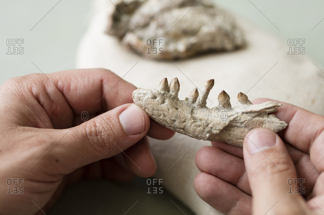 A paleontologist holds a fossil of the lower jaw of a Reveultosaurus.
