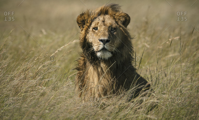 A male lion, Panthera leo, standing in the long grass in Masai Mara.