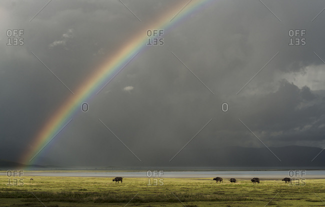 A herd of African buffalo, Syncerus caffer, in front of a rainbow in Ngorongoro crater.